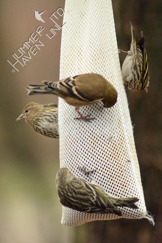 Three Pine Siskins around an American Goldfinch