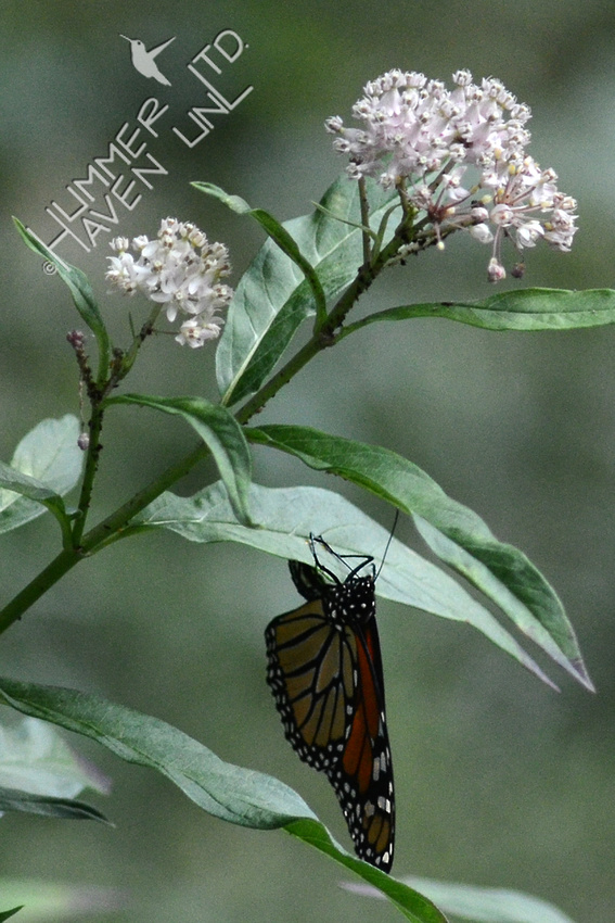Monarch laying eggs on Marsh Milkweed (Asclepias incarnata)
