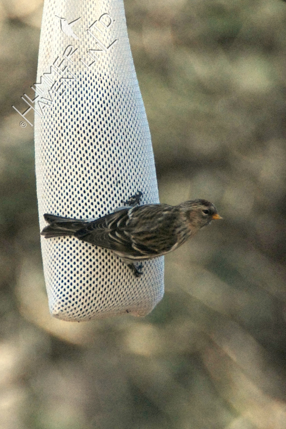 12-29-08 Common Redpoll