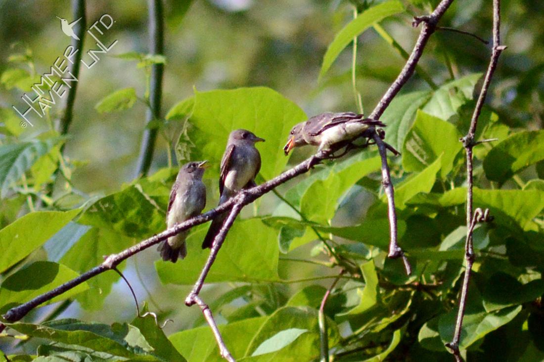 Eastern Wood Peewee feeding fledglings