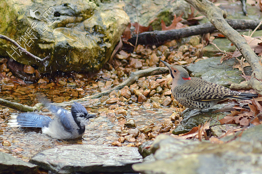 Blue Jay and male Northern Flicker