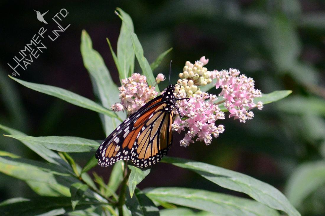 Monarch on Marsh Milkweed (Asclepias incarnata)