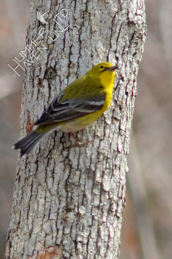 3-14-14 Pine Warbler perches briefly on trunk of oak