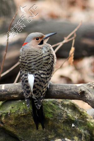 Northern Flicker, male