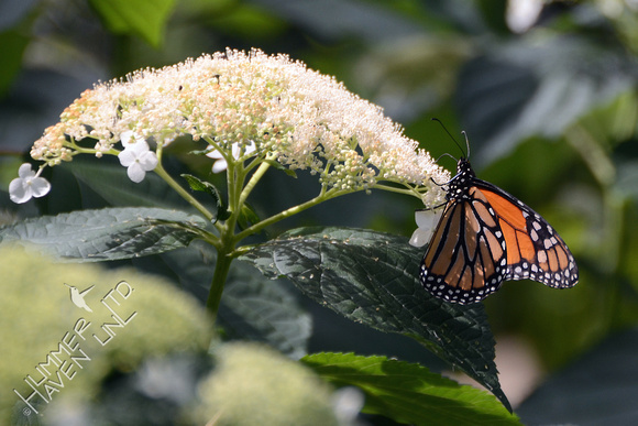 Monarch Male on Hydrangea arborescens 'White Dome'