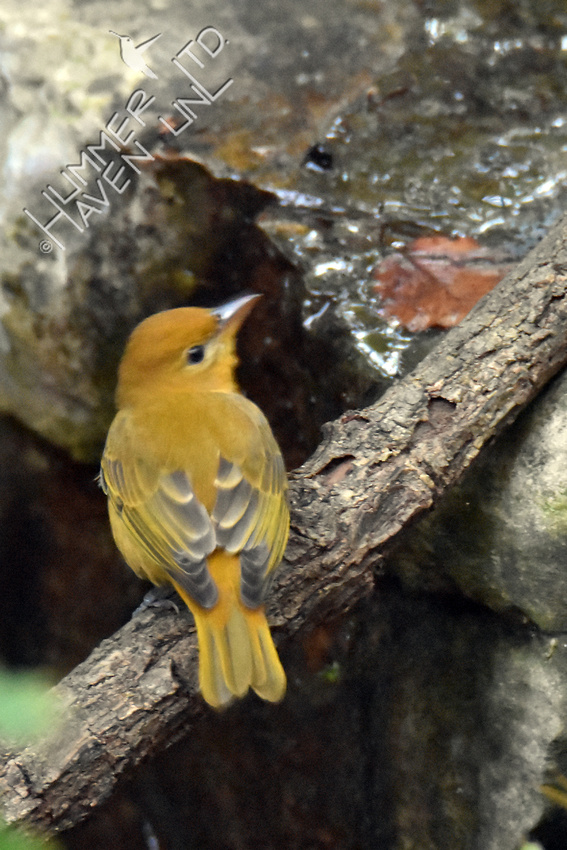 Summer Tanager female 9-30-16