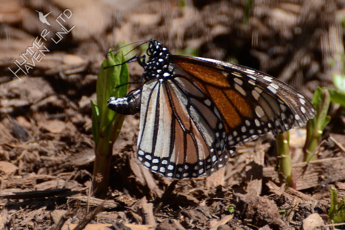 Female Monarch laying eggs on Asclepias incarnata