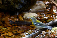 Northern Parula in fall plumage