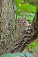 Young Eastern Chipmunk