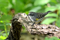 Yellow-rumped Warbler, female