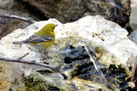 Pine Warbler at Bubbler Basin on 3/14/2014