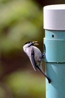 Carolina Chickadee with caterpillar and moth to feed young