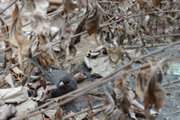Dark-eyed Junco eating Cliff Goldenrod seeds