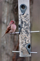 Purple Finch on New Year's Day