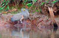 Bare-throated Tiger Heron (male)