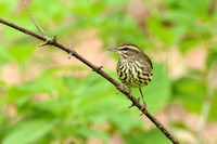 Northern Waterthrush 4-20-16