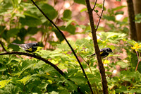 Yellow-rumped Warblers 4-22-16