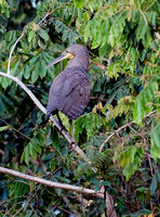 Bare-throated Tiger Heron (female)