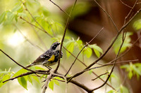 Yellow-rumped Warbler on American Elm (Ulmus americana)  4-21-16