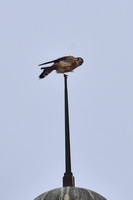 American Kestrel on top of the Sanibel Lighthouse 12-7-16