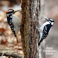 Side view comparison of Hairy Woodpecker male and Downy Woodpecker female