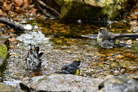 Yellow-rumped Warblers 4-17-17