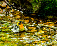 Final - Blackburnian Warbler 5-8-16-5069  CS 9