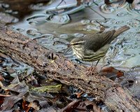 Final - Northern Waterthrush 4-28-14-2648  CS 9