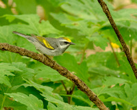 Final - Golden-winged Warbler female 5-15-15-9469  CS 16