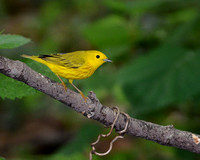 Final - Yellow Warbler 5-9-11-3029  CS 8