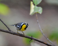 Final- Yellow-throated Warbler 9-3-17-0242  CS 10