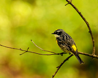 Final - Yellow-rumped Warbler 4-22-16-0157  CS 6