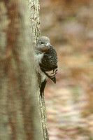 Red-headed Woodpecker, immature