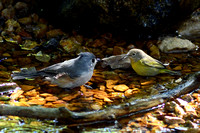 Tufted Titmouse and Nashville Warbler