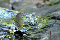 Nashville Warbler at the Bubbler