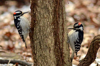 2 Hairy Woodpeckers
