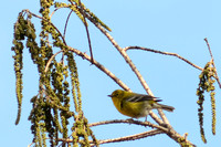 Pine Warbler searching for food in the Pond Cypress