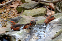 2-20-13 Red Crossbills at the Bubbler