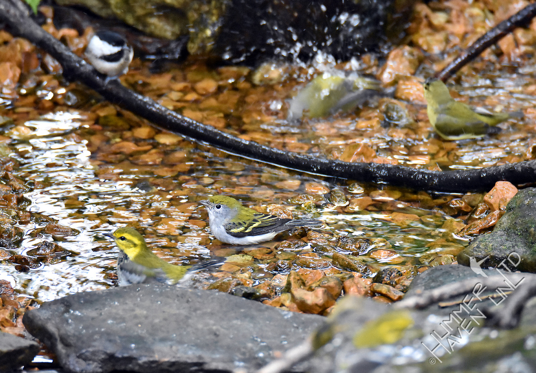Carolina Chickadee, Nashville, Tennessee, Chestnut-sided and Black-throated Green Warblers 10-2-16