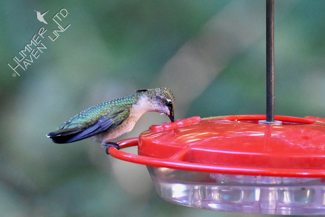 Ruby-throated Hummingbird 10-8-16