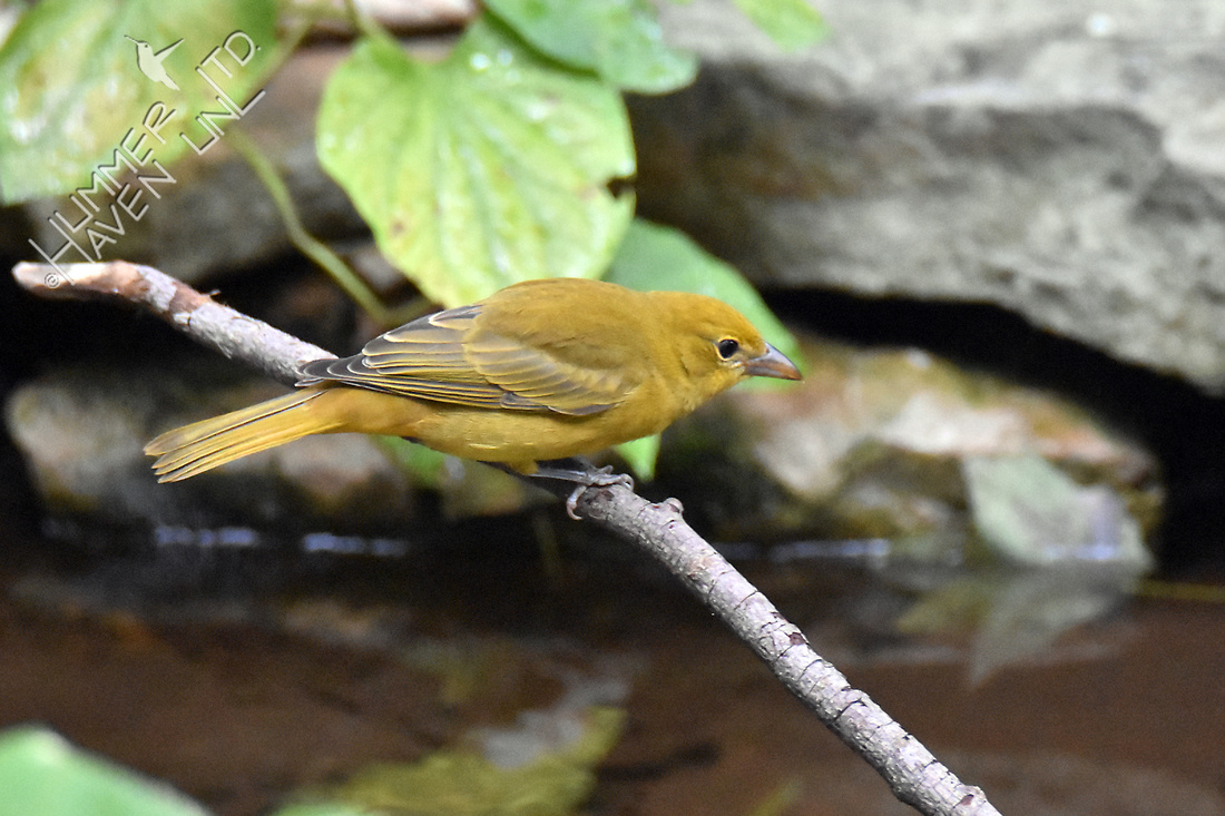 Summer Tanager female 10-1-16