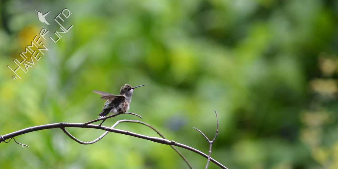 Ruby-throated Hummingbird on garden arbor