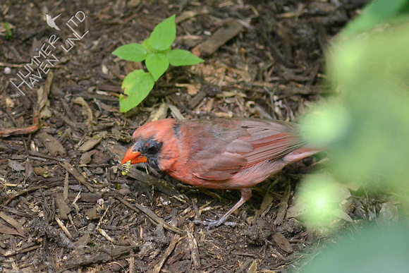 Northern Cardinal eating a Monarch caterpillar 8-14-15