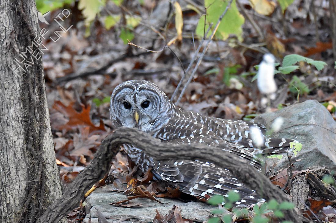 Barred Owl mantles its prey 11-4-16
