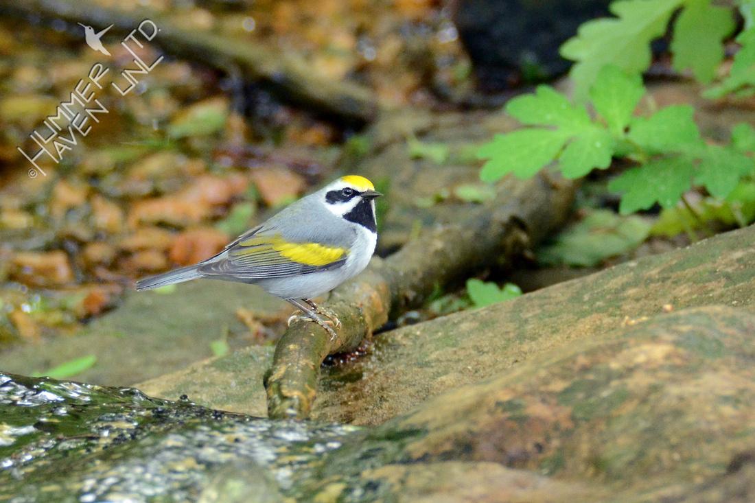 Golden-winged Warbler 5-3-16
