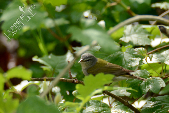 Tennessee Warbler on Gooseberry (Ribes missouriense) 4-21-16
