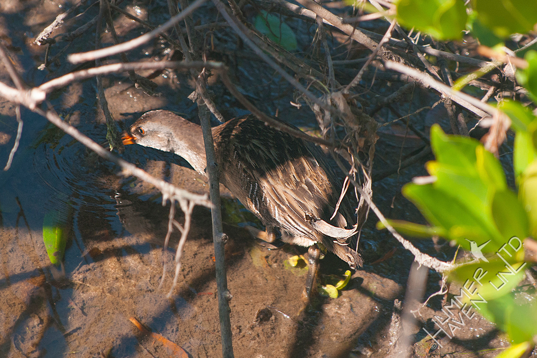 Clapper Rail 12-4-16 (by Dan)