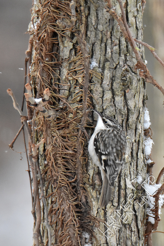 Brown Creeper 1-5-17