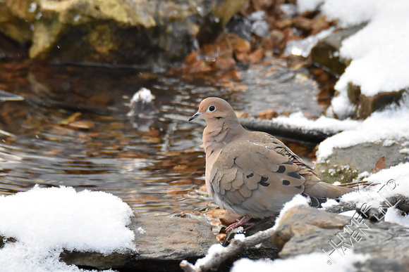Mourning Dove 1-5-17