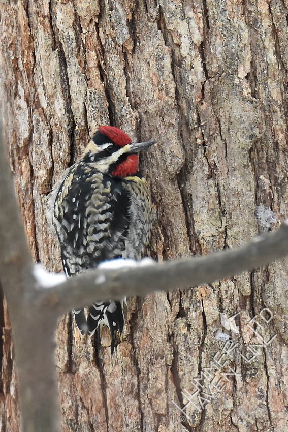 Yellow-bellied Sapsucker 1-5-17
